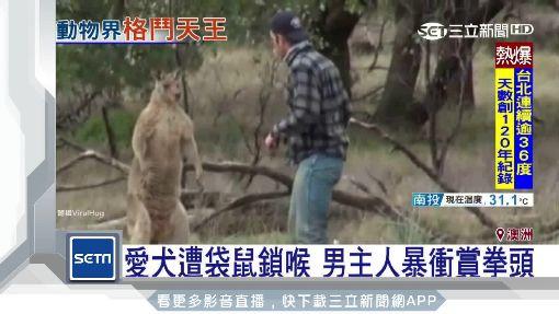 """澳洲男童餵袋鼠 慘遭""""左勾拳""""襲臉"""