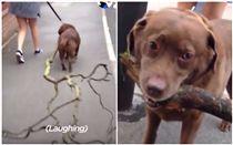 狗,寵物,散步,汪星人,樹枝,樹,拖鞋,叼(組合圖/翻攝自The Dodo臉書)