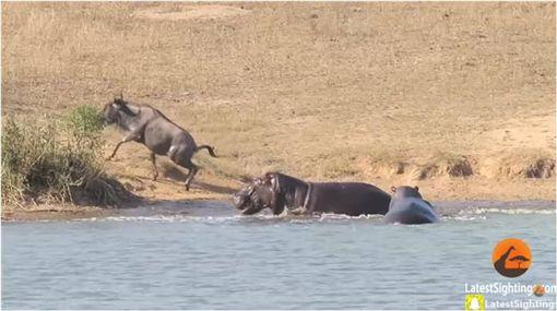 鱷魚,河馬,牛羚,南非,Kruger Park,Mervyn Van Wyk 圖/翻攝自YouTube