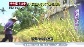 宜蘭小農友善耕種 有機米契作創三贏