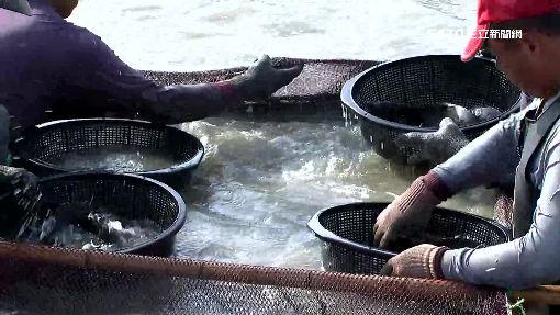 中國「龍虎斑」打趴MIT石斑 養殖戶喊慘