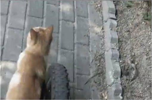 假車禍,貓咪,毛孩,喵星人,腳踏車,裝死,行車紀錄器 圖/翻攝自臉書