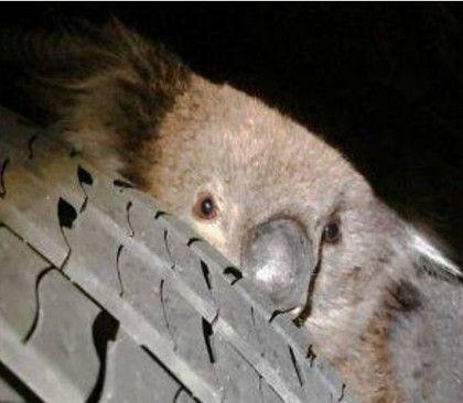 澳洲,駕駛,無尾熊,保育動物,意外,輪胎