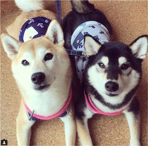 狗,柴犬,汪星人,口水,流口水,冰淇淋,mugi_tsuku 圖/翻攝自IG
