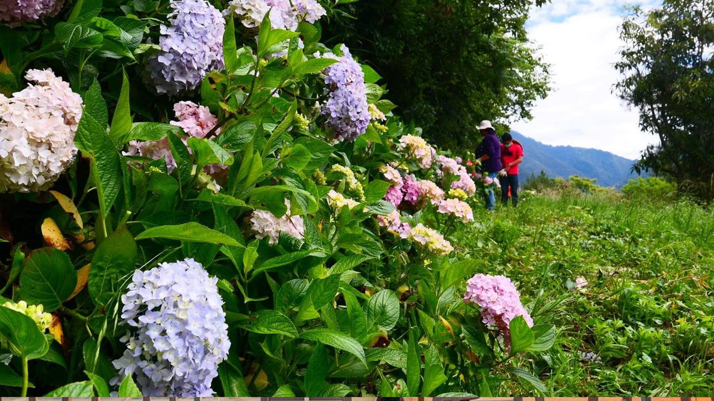 挺過4月「霜害」 武陵農場繡球花季6月正式來臨!