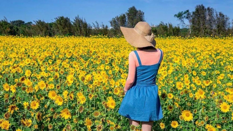 向日葵花季到10月!全台向日葵花海景點