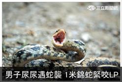 男子尿尿遇蛇襲 1米錦蛇緊咬LP