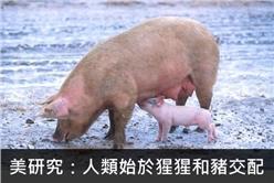 豬(維基)