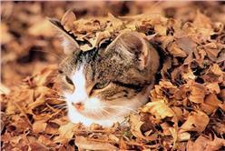 貓的落葉床_卡卡洛普