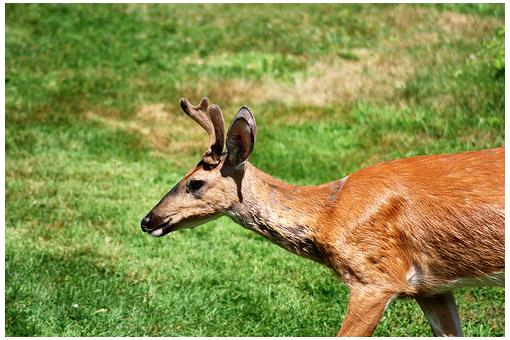 鹿茸(攝影/BobMacInnes,cc授權)