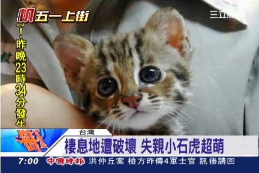 比鞋貓更萌 珍貴「石虎」恐將滅絕