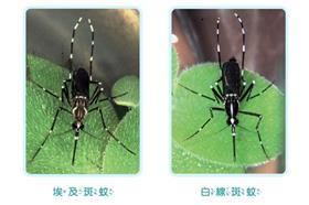 蚊子、登革熱-圖/衛生福利部疾病管制署官方網站