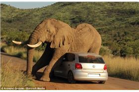 大象/dailymail(http://www.dailymail.co.uk/news/article-2717919/VERY-heavy-petting-Tourists-stuck-hatchback-elephant-gets-frisky-South-African-safari.html)