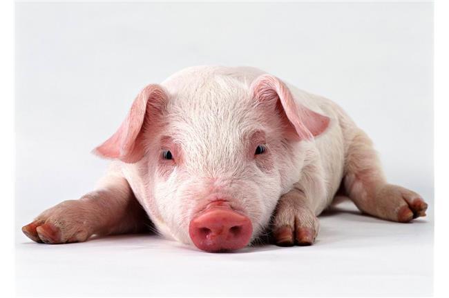 12生肖為何唯獨「豬」沒有成語?