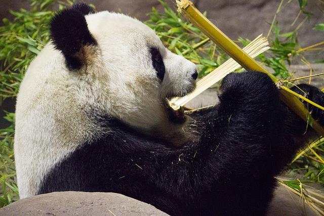 熊貓/lickr