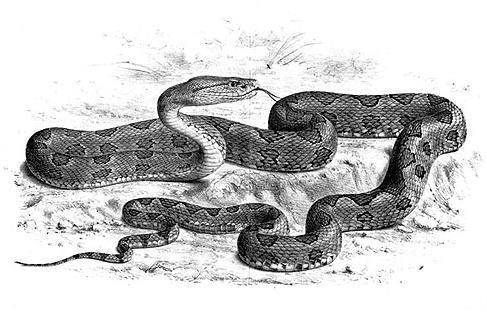台灣六大毒蛇/名家