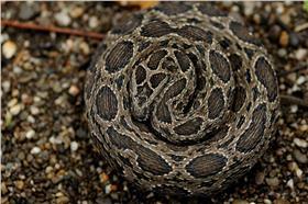 鎖鏈蛇 白魯夫攝
