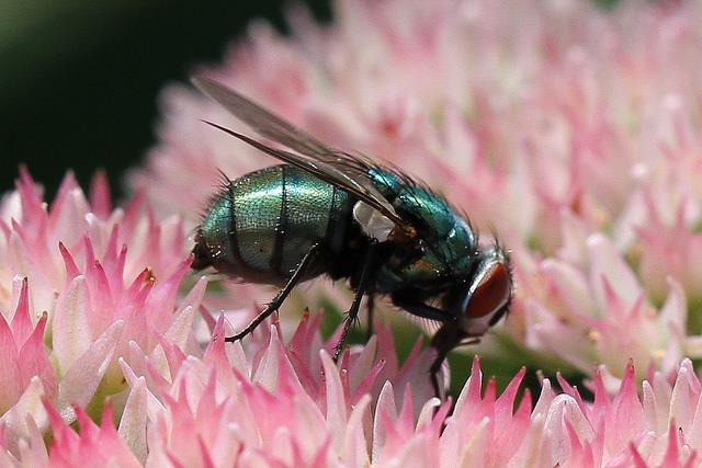 蒼蠅,fly(flickr-Jim, the Photographer)