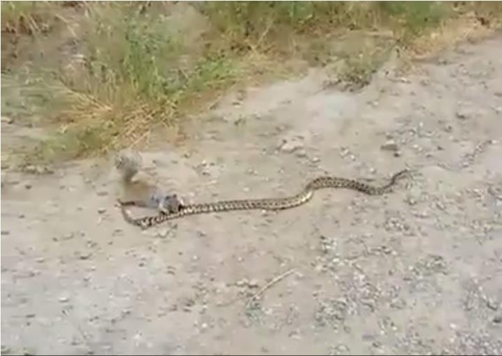 松鼠大戰蛇/youtube