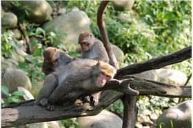 台灣獼猴/flickr