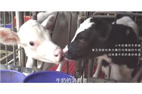 酪農,鮮奶,牛 圖/YouTube
