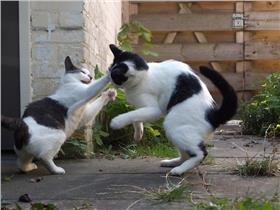 貓咪,喵星人,打架 (https://www.flickr.com/photos/ajbunsby/6184643207/)