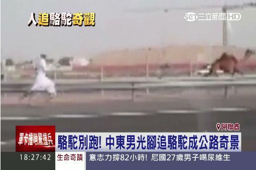 駱駝別跑! 中東男光腳追駱駝成公路奇景