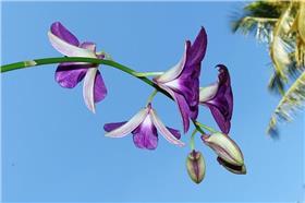 石斛蘭  蘭花 (圖/pixabay sarangib)