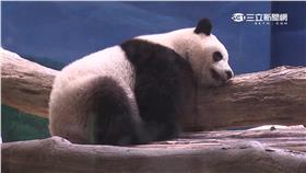 木柵動物園,圓仔,貓熊