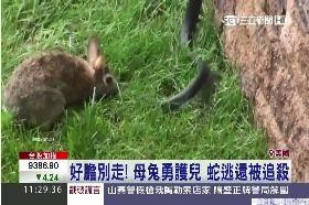 母兔鬥毒蛇1100
