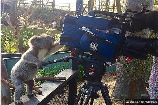 無尾熊,攝影,麥莉,澳洲,專業▲圖/翻攝自英國鏡報