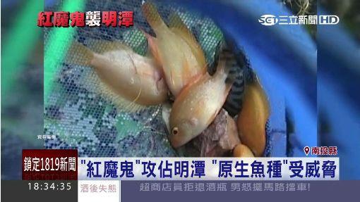 """""""紅魔鬼""""繁殖快! 狂吃明潭總統魚卵 ID-300548"""