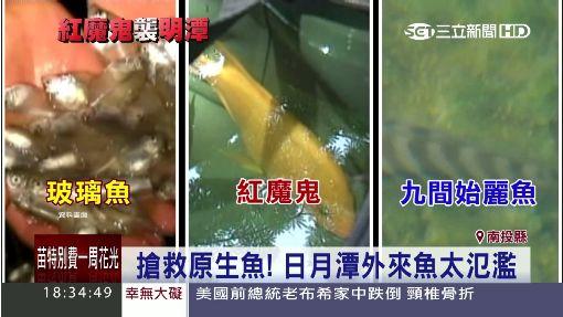 """""""紅魔鬼""""繁殖快! 狂吃明潭總統魚卵 ID-300550"""
