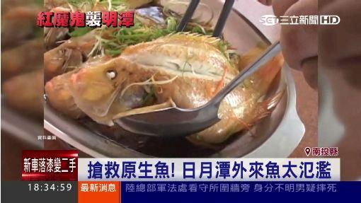 """""""紅魔鬼""""繁殖快! 狂吃明潭總統魚卵 ID-300551"""