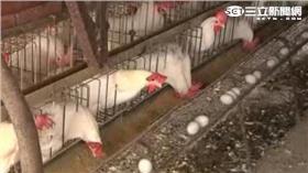 禽流感,H5N2,台東,太麻里,撲殺