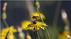 蜜蜂 圖/達志影像/路透社