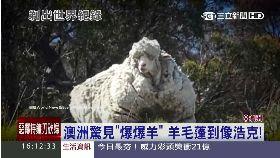 W澳抓爆毛羊1600