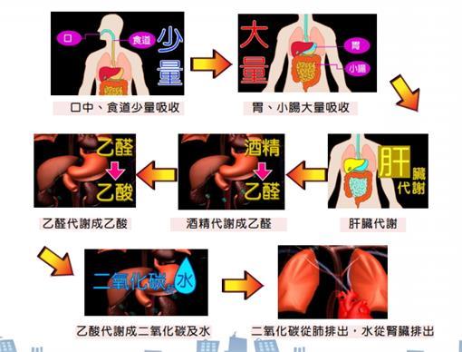 酒精代謝圖(圖/取自交通部道安委員會數位課程)