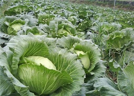 蔬菜,杜鵑颱風,價錢,農作物,市場圖/翻攝自百度百科