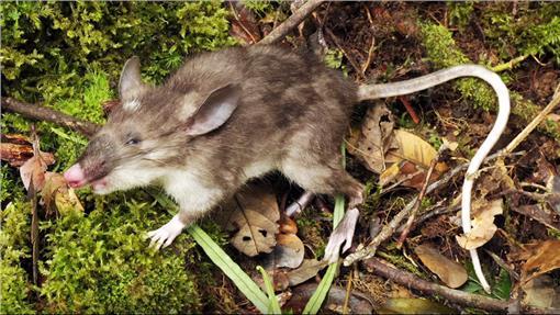 印尼发现新哺乳动物 拥有如猪鼻子般的老鼠图片