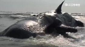 抹香鯨死亡1100