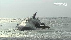 鯨魚牙被拔1800