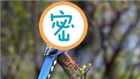 台灣藍鵲/總統府提供