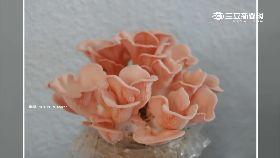 粉紅玫瑰菇1800