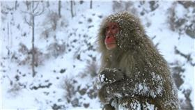 低溫、寒流、地獄谷溫泉猴-猴子,(圖/作者Travis,flickr, C.C. License)-https://www.flickr.com/photos/variationblogr/13947391991/