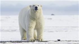 北極熊 翻攝FLICKR https://www.flickr.com/photos/puliarfanita/22154670472/in/photolist-zKJtF7-8u2ELb-nS9R1W-2rHKUy-jM6dLm-4EG3Jd-mqucZe-bYEMSJ-7sw4CG-4fsyGe-qPjLzs-6K338s-A2DnWf-84xgMj-mpqEnF-bsozXc-9G9Vme-8vqpyd-4on5RG-aaCmw3-9uKpHD-ffxd5s-zEN8F3-6sz8cU-bwnL44-bVGczy-4oks3k-kDYXbk-4o4xo5-34rbHK-9fSCFv-9j7FLE-ozQuXm-qRkykh-vjfAeY-9jNaoo-96qbFM-nzDfSp-zRUGdy-dnrLC3-7EiWrp-wbVfKm-zLPNYx-ovEkAX-wfnU9f-hKvHmh-7EnMt1-vc9nTQ-w9zBQ4-wbUfxj