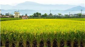 稻米-翻攝自台灣農村陣線臉書