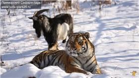 老虎山羊同居-safaripark25.TV YouTube