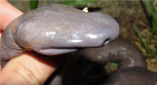 陰莖蛇(圖/翻攝自YouTube)