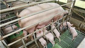 豬圈 圖/shutterstock/達志影像